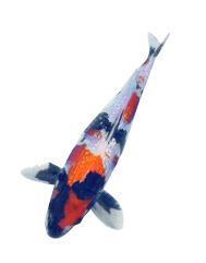 Koi Pond Fish